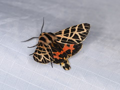Apantesis ornata (dhobern) Tags: 2018 california june lepidoptera ringmountain sanfrancisco usa erebidae arctiinae apantesisornata