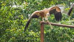 Eagle - 5326 (ΨᗩSᗰIᘉᗴ HᗴᘉS +24 000 000 thx) Tags: bird eagle animal tree green hensyasmine namur belgium europa aaa namuroise look photo friends be wow yasminehens interest intersting eu fr greatphotographers lanamuroise tellmeastory flickering