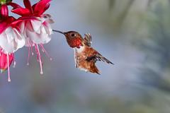 More... (Patricia Ware) Tags: allenshummingbird backyard birdsinflight california canon fullframe fuschia manhattanbeach multipleflash selasphorussasin tripod httppwarezenfoliocom ©2018patriciawareallrightsreserved specanimal