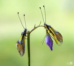 Dos libelloides y una flor (JoseQ.) Tags: libelloides bicho animal insecto neuroptero mariposa macro macrofotografia campo pareja flor airelibre primavera