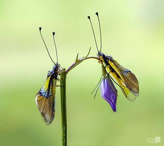 Dos libelloides y una flor