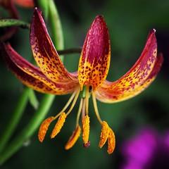Martagon lily 'Arabian Knight' (viki_paterson) Tags: beautiful martagonlily lilies lily flowers flowerbeauty flower