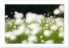 Singled out (Horia Bogdan) Tags: cottongrass plants green white cotton meadow romania transylvania horiabogdan