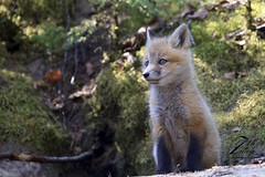 The Sentry (Seventh day photography.ca) Tags: redfox fox animal mammal wildanimal wildlife predator ontario canada carnivore kit young