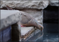 Mourning Dove (mylens) Tags: canon7d bird dove feathers wildlife nature outside spring wings water mourningdove swimmingpool