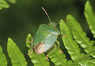 Common Green Shieldbug - Palomina prasina