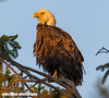 Bald Eagle at sunset see 100% (Mike Black photography) Tags: bald eagle eaglet nest nesting pair bird birding watching big year new jersey nj shore shark river raptor talons branch hopping baby canon 5ds 800mm is usm l lens mike black photography june 2018