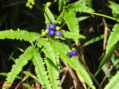 Seed of Flowering Plant of the forest-Malaya (bugsmanyeh) Tags: wild flower malaya