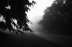 dark and mysterious (RubyT (I come here for cameraderie!)) Tags: ferraniap30alpha nikononetouch testroll film analog maple acerpalmatum fog landscape черноеибелое bw nb bn noirblanc blancoynegro schwarzweiss blackandwhite mono monomcromo monochrome foggy
