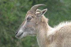 Himalayan Gaur in Sikkim Zoo (Ankur P) Tags: india sikkim eastsikkim gangtok mountains himalayas sikkimhimalayanzoologicalpark zoological park zoo himalaya