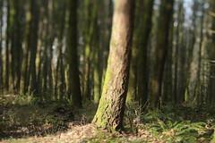Mount Talbert (Tony Pulokas) Tags: oregon portland mttalbert mounttalbertnaturepark bokeh blur mounttalbert tilt tree forest spring douglasfir fern swordfern fog