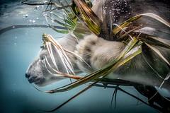Fancy Bear (helenehoffman) Tags: arctic bear wildlife conservationstatusvulnerable nature sandiegozoo ursidae mammal polarbear ursusmaritimus carnivore animal alittlebeauty