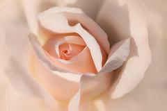 teint de pêche (christophe.laigle) Tags: rose peach christophelaigle fleur macro nature flower fuji pêche xpro2 natural sundaymacrochallenge xf60mm parcdelaroseraie
