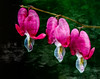 3 Hearts of Spring (dshoning) Tags: 52weeksof2018 impressionistic flower pink bleedinghearts green leaves spring