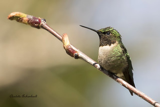 Colibri à Gorge rubis, Ruby-throated Hummingbird