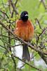 Orchard Oriole (Alan Gutsell) Tags: orchard oriole orchardoriole songbird migration spring texas birds wildlife nature photo canon quintana alan