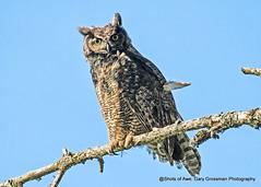 I See You (Gary Grossman) Tags: owl bird predator ridgefield refuge nature spring northwest washington garygrossmanphotography pacificnorthwest ridgefieldnationalwildliferefuge greathornedowl