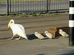 Swan family crossing the rails (STEHOUWER AND RECIO) Tags: swan mother swanlings young youngsters spring family white rails crossing walking animals animal zwaan zwanen swans road urban rotterdam netherlands holland dutch