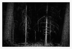 Gefährten - Companions (Bernd Kretzer) Tags: fichte spruce baum tree holga hln 60m lomo plastiklinse toy lens