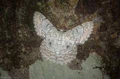 Pingasa chlora (dustaway) Tags: arthropoda insecta lepidoptera geometridae geometrinae pingasachlora australianmoths australianinsects victoriaparknaturereserve dalwood alstonvilleplateau northernrivers nature nsw australia