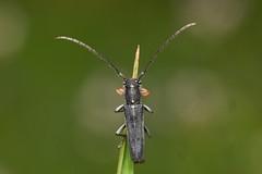 umbellifer longhorn, Phytoecia cylindrica (David_W_1971) Tags: coleopteracerambycidae sig2018 raynox dcr250