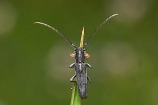 umbellifer longhorn, Phytoecia cylindrica