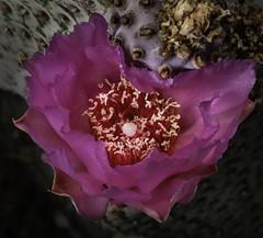 Santa Rita Prickly Pear Cactus Flower (Bill Gracey 20 Million Views) Tags: fleur flower flor cactusflower opuntiasantarita offcameraflash cactusgarden lastoliteezbox lakeside softbox yongnuo yongnuorf603n color macrolens nature naturalbeauty floralphotography