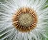 coltsfoot centre (marianna_a.) Tags: coltsfoot seeds seedhead weed spring plant macro mariannaarmata