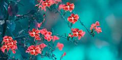 Lani (el-liza) Tags: geishagirljune2018 nature outdoor outside flora plant flowers shrub park garden macro closeup exotic red australia duranta