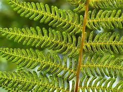 Fern (The-Beauty-Of-Nature) Tags: summer june juni nature germany deutschland plants pflanzen green grün lush sunny sun sonne sonnig warm stuttgart wilhelma botanic garden botanischer garten zoo