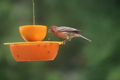 357/365/3644 (June 3, 2018) - I am sure I have been 'catfished' - Orioles and House Finches - June 2nd and 3rd, 2018 (Saline Michigan) (cseeman) Tags: birds saline michigan orioles feeder oriolefeeder orange orioles062018 jelly orioleslovejelly oranges finches housefinches birdcatfishing catfishing062018 catfishing 2018project365coreys yeartenproject365coreys project365 p365cs062018 356project2018