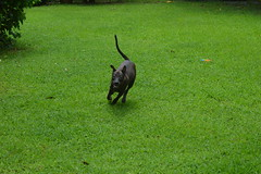 playful hersey (the foreign photographer - ฝรั่งถ่) Tags: jun212016nikonhersey hersey dog running our yard nikon bangkok thailand southeast asia playful house