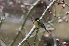 _MG_9011 (Foto Massimo Lazzari) Tags: fotomassimolazzari bird inverno neve
