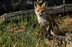 EdenLanding_060318_208 (kwongphotography) Tags: edenlandingecologicalreserve edenlanding wildlife wildlifephotography nature naturephotography eastbayregionalparks hayward california ca calif redfox fox unitedstates