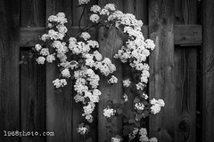 Wicked Garden (1968photo) Tags: flower flowers nature closeup garden beautiful flowerphotography naturephotography wood fence 1968photo bw blackandwhite sv svartvit monochrome monotone cluster flowercluster blomma blommor