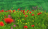 The joy of spring (W.MAURER foto) Tags: grün rot green red rosso blumenwiese blumen mohn mohnbluhme poppy blüte wiese meadow flowers flowermeadow italy tuskany nikond800 nikkor70200f28vrii entspannung relax spring frühling felder fields natur landschaft summer