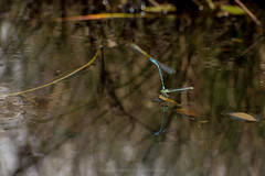 Damselflies love to surf (Daniel James Greenwood) Tags: nikond750 insects danielgreenwood danielgreenwoodphotography sussex ashdownforest odonata damselflies