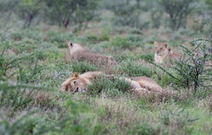 Lions. (annick vanderschelden) Tags: lionesses lion lioness cat mammal wildlife animal nature savannah bush grassland southernafricanlionesses etoshanationalpark grass trees africa southernafrica lazing resting king namibia