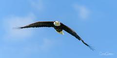Where Eagles Fly (craig goettsch - out shooting) Tags: sanibel2018 baldeagle bird avian wildlife nature nikon sky d850