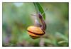 Escargot (gilbertdorleansphotography) Tags: montréal paysage animal animaux bright canon canonlens eclairage escargot garden jardin jardins light macro nature photo photographe photographie photography photos snail