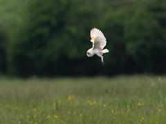 Barn Owl - hunting_4 (Tony McLean) Tags: ©2018tonymclean tophilllow eastyorkshire naturephotography wildlifephotography nikond4 nikon500f4gvr barnowl