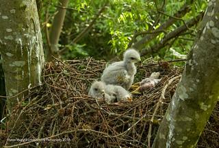 Buzzard chicks