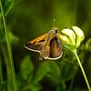 Never Slow (Portraying Life, LLC) Tags: dbg6 da3004 hd14tc k1mkii michigan pentax ricoh unitedstates butterfly closecrop handheld nativelighting skipper meadow floret