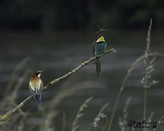 Guêpiers d'Europe (touflou) Tags: guêpiersdeurope oiseaux oiseau loire faune insectes