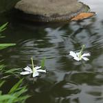 海濛果花 Cerbera manghas flower thumbnail