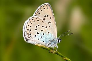 Large Blue 4