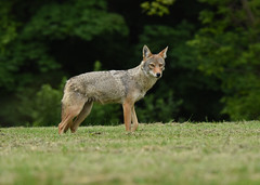 Eastern Coyote (female) (aj4095) Tags: coyote animal nature wildlife outdoor ontario canada