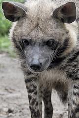 Striped hyena (Hyaena hyaena) (ucumari photography) Tags: ucumariphotography stripedhyena hyaenahyaena animal mammal naples florida fl zoo may 2018 specanimal