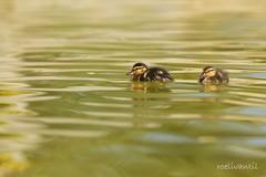 De wereld ontdekken/Discovering the world (roelivtil) Tags: ducks eendjes young 7dwf sundaythemefauna