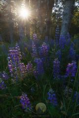 Lady Bird's Garden (jojo (imagesofdream)) Tags: rewoodsnationalpark california wildflowers ladybirdjohsongrove flowers landscape